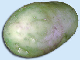 Green potato